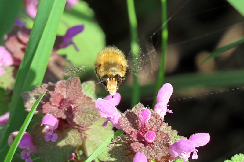 Hairy Footed Flower Bee - Anthophora plumipes