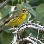 Prairie Warbler_19-03-02_WDC_0758AM2