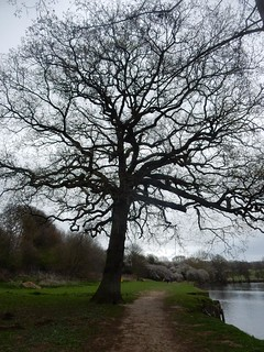 Big tree on the Medway