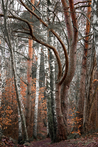 Imposing pine in the forest | by Thor Thorsson 1