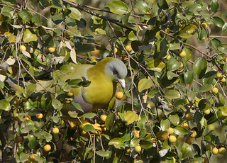 Yellow-footed Green Pigeon (Treron phoenicopterus) | by Francisco Piedrahita