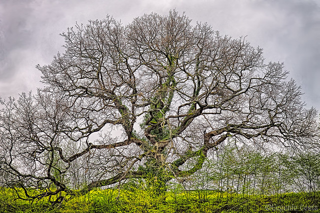 Van Gogh's tree