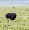 OSTRICH 3 by Nigel Bewley
