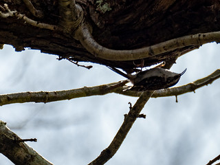 Tree Creeper | by dudutrois