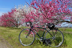 Trek 520 bicycle along  Zenkojigawa (善光寺川)