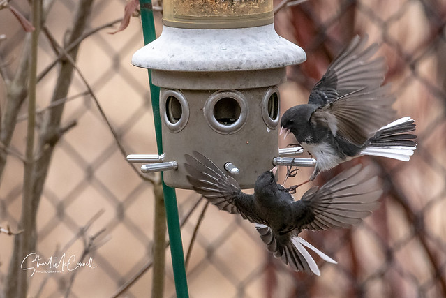 Dark eyed Junco aerial attack 3