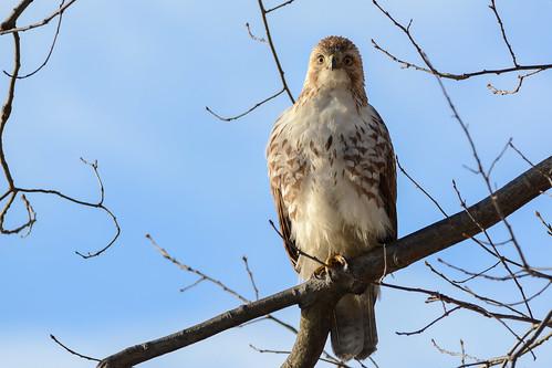 red birds birdsofprey raptors hawks hawkredtailed redtailedhawk nikon nikond7100 tamronsp150600mmf563divc jdawildlife johnny portrait closeup eyecontact whatbirdbestofday gorgeous wow