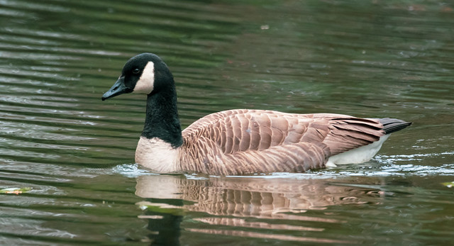 Friendship Pond Canada Goose 2 NBG