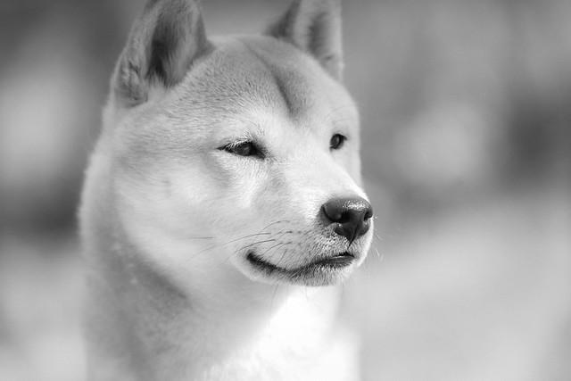 Pedro 260319-6 Japanese Dog