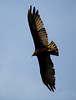 Lesser yellow-headed Vulture (Cathartes burrovianus) by piazzi1969