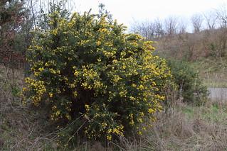 Gorse in full flower - near Thursley Ulex europaeus
