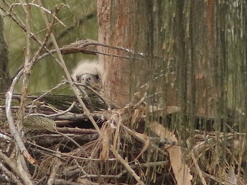 Bald Eagle eaglet 1046AM 20190131
