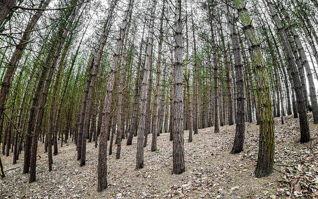 Pine. The fisheye view.