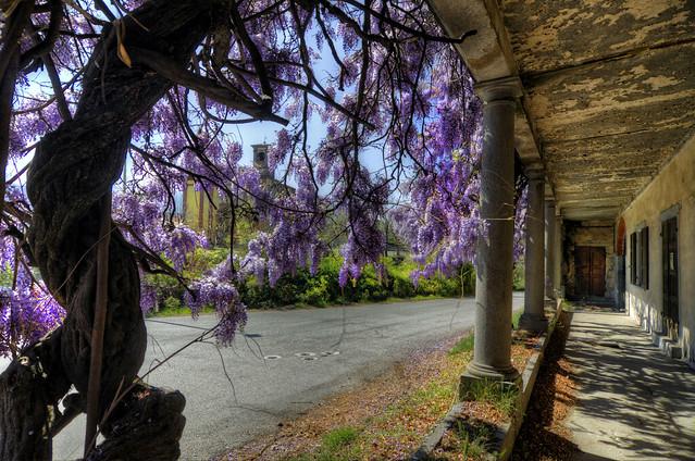 The wisteria house