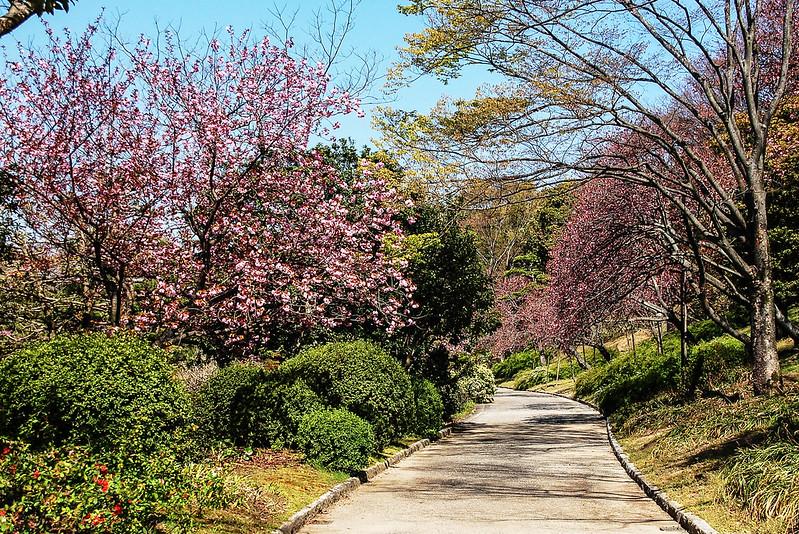 萬博公園櫻花 3