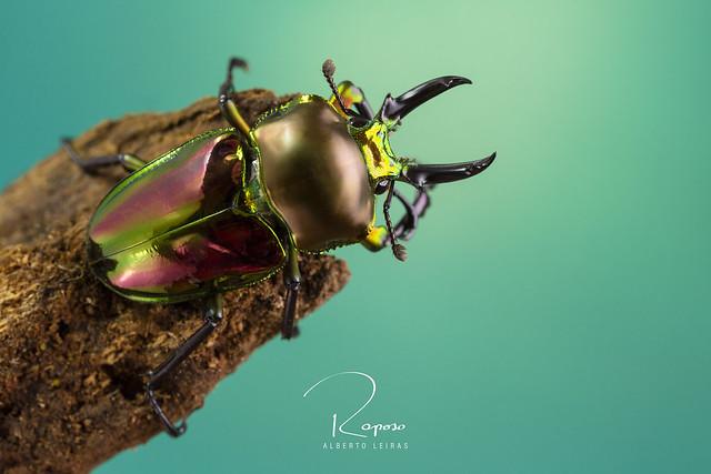 Phalacrognathus muelleri - Male ( Escarabajo ciervo arco iris australiano )