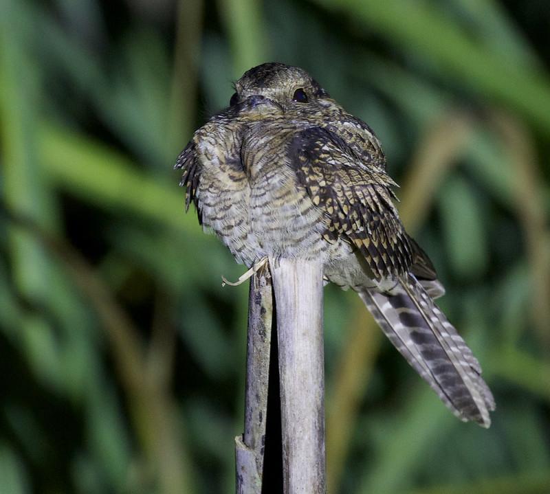 Ladder-tailed Nightjar, Hydropsalis climacocerca Ascanio_Peruvian Amazon 199A6636