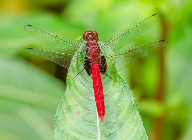 Claret Pondhawk - Erythemis mithroides (Libellulidae) 111s-9472