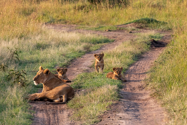 Mama Lioness and 3 Cubs
