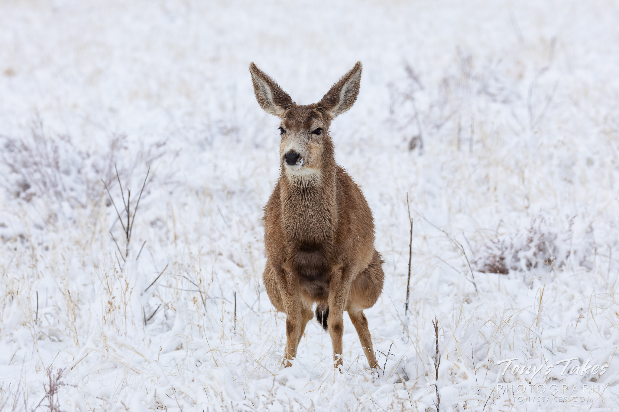 A mule deer buck relieves itself in the snow. (© Tony's Takes)