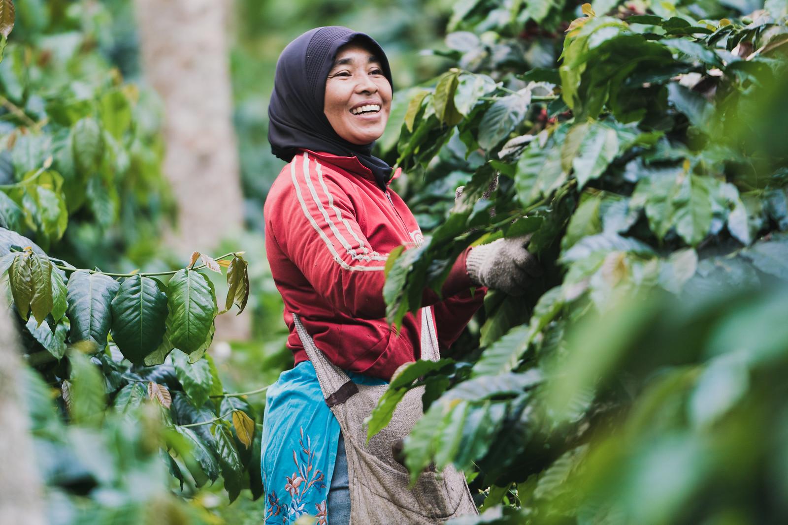 Nông dân trồng cà phê tại sumatra - Indonesia (1)