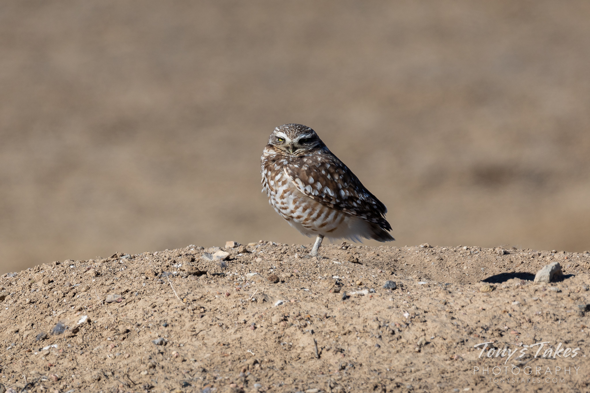 A burrowing owl looks sleepy as it stands by its burrow. (© Tony's Takes)
