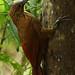 "Strong-billed Woodcreeper (Xiphocolaptes promeropirhynchus).  ""Birdwatchers House"" in ""21 de Mayo"" pueblo.  Mindo region, Ecuador. by cbrozek21"