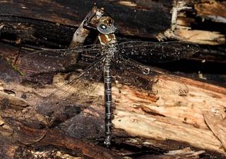Dragonfly | by bolickscott