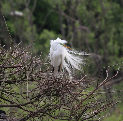 Egret in breeding plumage. High Island tx 4-19 | by johnd1964