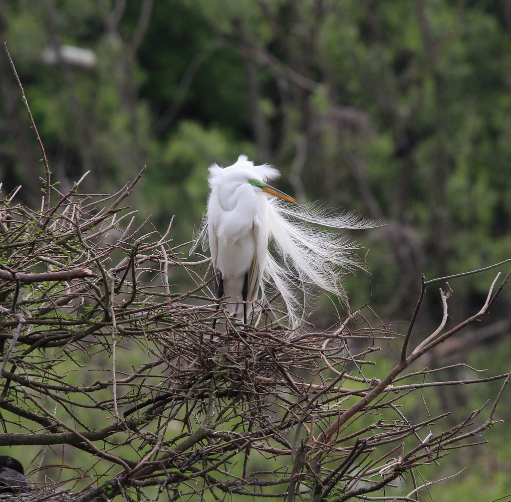 Egret in breeding plumage. High Island tx 4-19