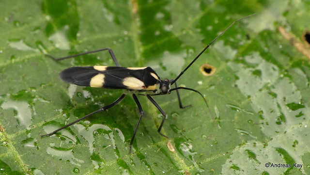 Seed bug, Rhyparochromidae