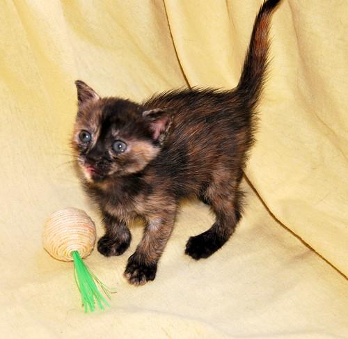 Narubi, gatita carey de cara bicolor amorosa esterilizada, nacida en Marzo´19, en adopción. Valencia RESERVADA. 33722588238_f5d915e388