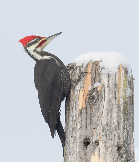 Portrait Grand Pic (Mâle)  -  Pileated Woodpecker