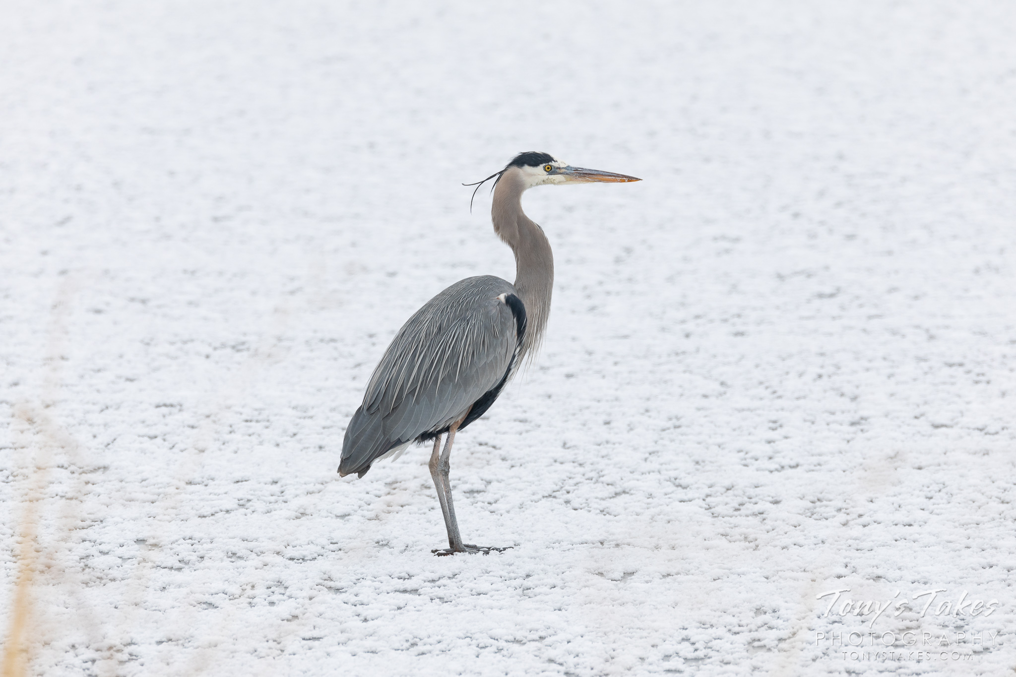 A great blue heron hangs out on a frozen pond at St Vrain State Park in Colorado. (© Tony's Takes)