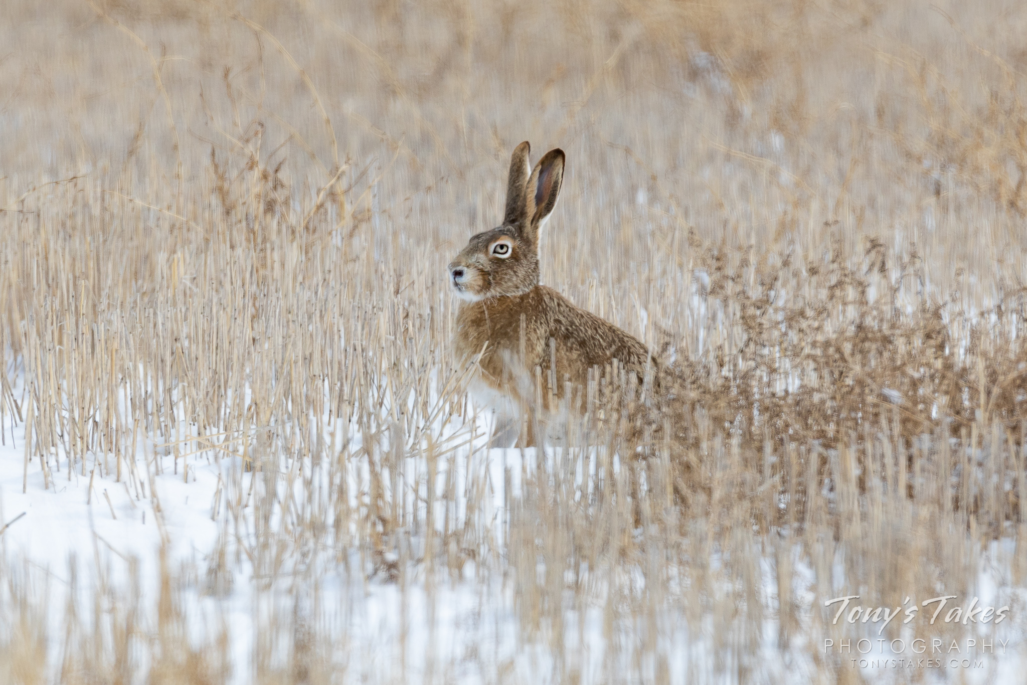A white tailed jackrabbit keeps watch from a field on the Colorado plains. (© Tony's Takes)