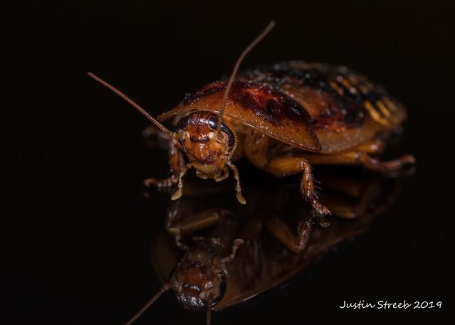 Dubai Cockroach fb