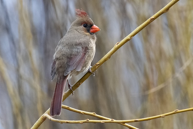 Central Park: Young Northern Cardinal