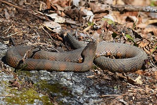 Banded Water Snake (Nerodia fasciata) | by hbvol50