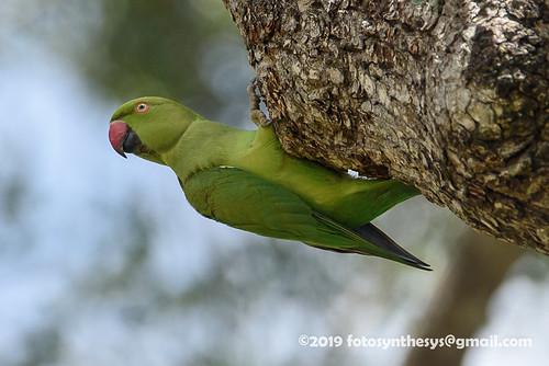 Indian Rose-ringed Parakeet (Psittacula krameri manillensis), femaleand male DSC_1194