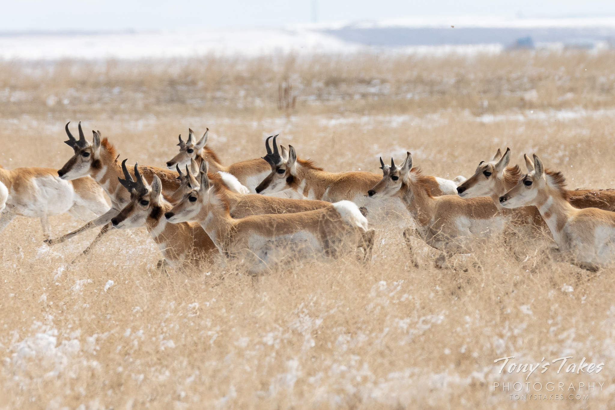 A pronghorn herd races across the plains of Adams County, Colorado. (© Tony's Takes)