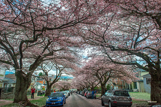 Full Cherry Blossoms in Vancouver