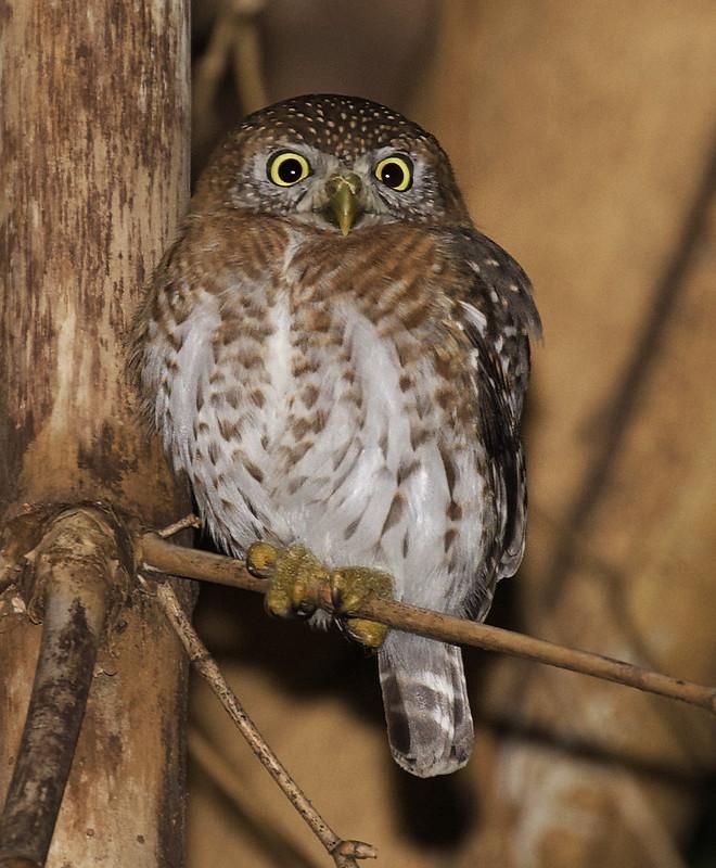 Cuban Pygmy Owl, Glaudicium siju Ascanio_Cuba 199A4358