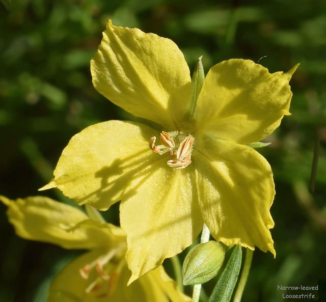 Narrow-leaved Loosestrife - Lysimachia quadriflora  -  Myrsinaceae: Myrsine family