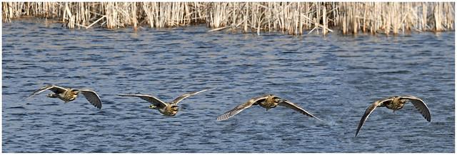 Bittern Flight Sequence.