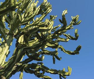 Euphorbia - a Succulent tree
