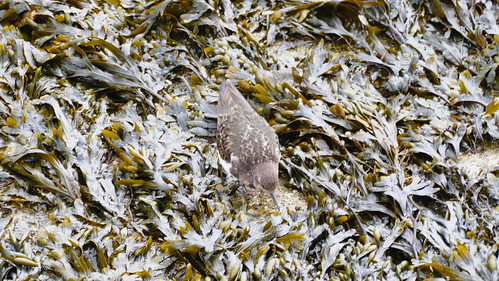 Turnstone in exposed seaweed, St Ives beach