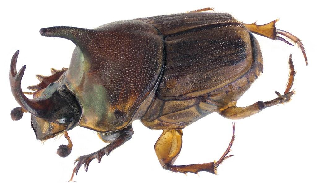 Liatongus venator (Fabricius, 1801) Male