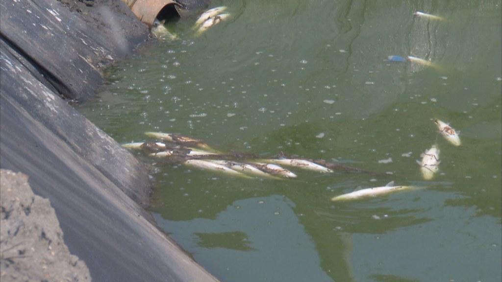 1000-2- (60)氣爆過後,海豐村的魚塭,出現黑、黃色的異樣油漬,池中的虱目魚翻肚死亡。