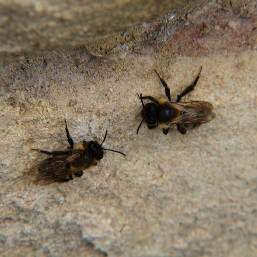 Clinging to a wall, bees