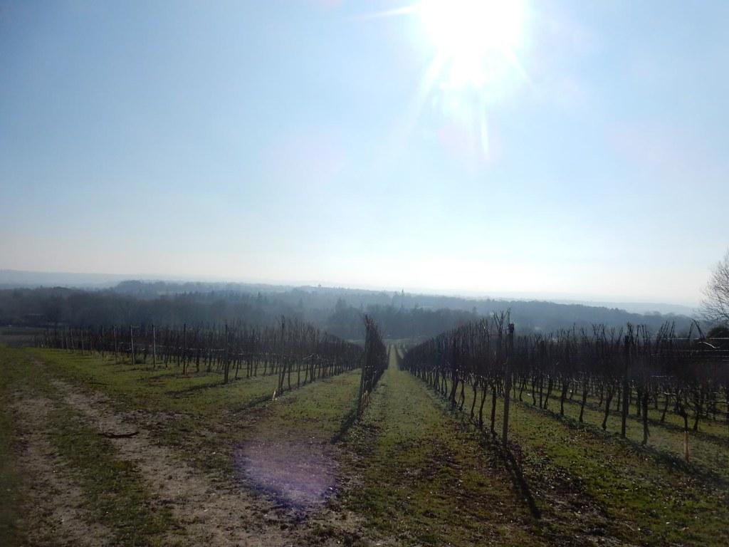 Vineyard - with sun Wanborough to Godalming